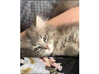 Beautiful 12 month old persian x ragdoll cat