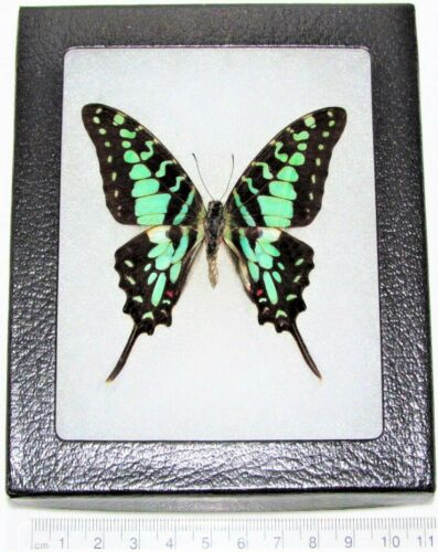 REAL FRAMED BUTTERFLY BLUE GREEN GRAPHIUM ANTHEUS SWALLOWTAIL AFRICA