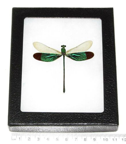 REAL FRAMED GREEN DRAGONFLY NEUROBASIS CHINENSIS INDONESIA