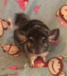 Young chinchilla for sale