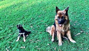Lost German Shepherd Benowa Benowa Gold Coast City Preview