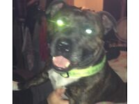 "Gorgeous 6yrs old male ""KC"" Staffordshire bull terrier"