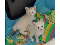 White longhaired and shorthaired kittens for sale