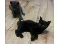 Two 9 week old kittens