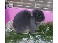 French lop male