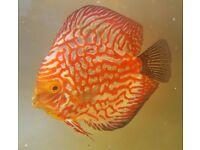 discus aquarium tropical fish