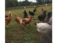 Hybrid chickens POL