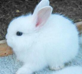 Gorgeous white baby rabbits with blue eyes £80 each ONO