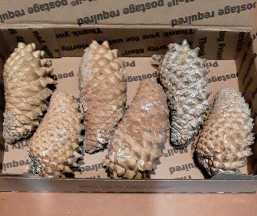 6 Medium Genuine Knobcone Pine Cone, Knob Cone Pinecone for third eye