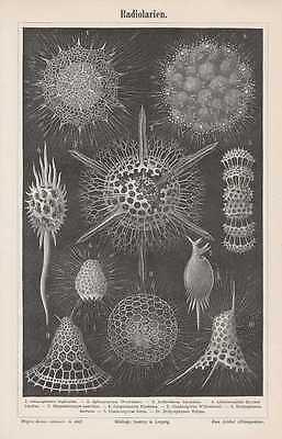 Strahlentierchen Radiolarien Lithographie von 1897 Radiolaria