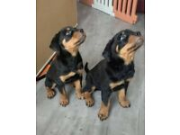 ROTTWEILER PUPPIES READY TO LEAVE NOW