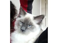 Beautiful pedigree Ragdoll kitten