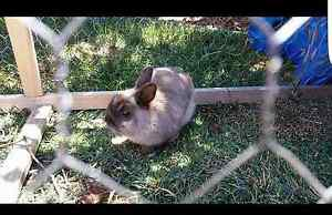 Rabbit and cage Ballarat Central Ballarat City Preview