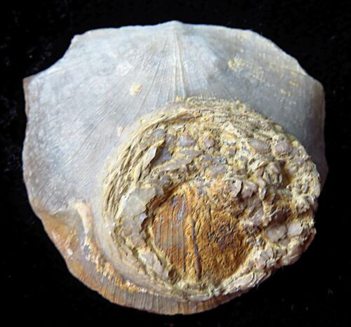 Edrioasteroid- Isorophus cincinnatiensis-Ordovician - Cincinnati, Ohio