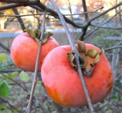 1 JAPANESE GIANT FUYU PERSIMMON TREE 6-8 INCH  FLOWERING FRUIT  LIVE PLANTS  - Giant Tree