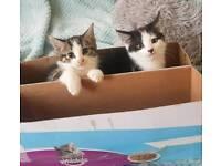 3 Beautiful Healthy Playful 9 week old kittens. Various Prices