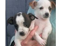 Jack Russell cross chihuahua pups