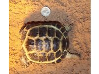 FREE DELIVERY - Horsfield's Tortoise - Russian Tortoise