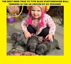 THE BEST BRED TRUE TO TYPE BLUE VALGLO BRED STAFFORDSHIRE BULL TERRIERS IN EUROPE