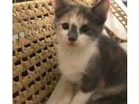 Beautiful Maine Coone x Persian Kittens