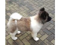 Japanese Long Coated Akita female Pup For Sale