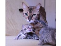 Bengal Kittens - BalticBengals™