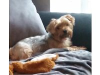 5 month old female Yorkshire Terrier Now SOLD
