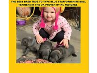 BEST BLUE STAFFORDSHIRE BULL TERRIER PUPS IN THE UK BLUE BOUNCER X TITAN ULTIMATE BLUE STAFFS