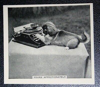 PEKINGESE DOG TYPING      Original Vintage Photo Card  VGC