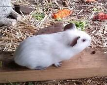 """Very unique """"rat-look-alike"""" Guinea Pig, Male Liverpool Liverpool Area Preview"""