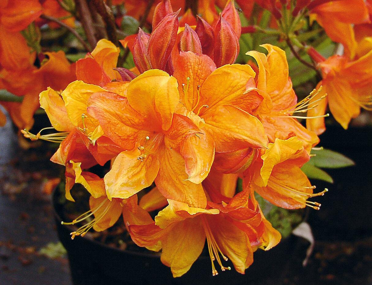Azalee Sunny Boy Rhododendron luteum 30-40cm Frühlingsblüher
