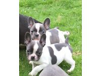 French Bulldog Puppies,blue and blue pied