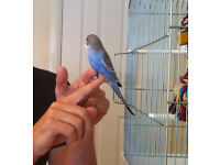 young budgie needs a new home