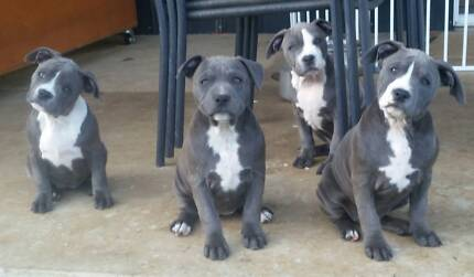 Blue & white Amstaff puppies. Benarkin North Darling Downs Preview