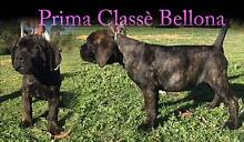 CANE CORSO PUPPIES Perth Northern Midlands Preview