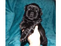 Gorgeous KC Reg Shih Tzu Puppies