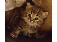 2 male Persian /Russian blue kittens