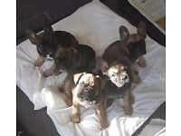 Beautiful sable french bulldog puppies ( 9weeks old)