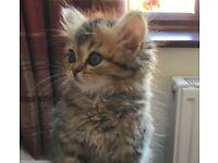 Gorgeous Chinchilla Persian Kittens