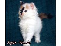 3 stunning persian kittens