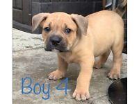 American Bulldog x Olde English Bulldog Puppies for sale- male