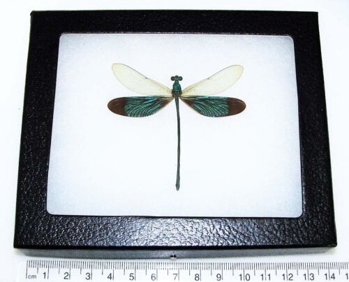 REAL FRAMED GREEN DRAGONFLY NEUROBASIS CHINENSIS INDONESIA C2