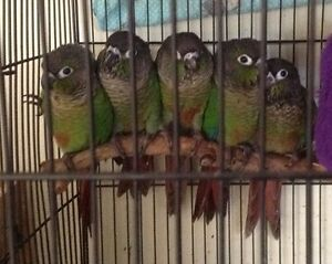 Baby conure and cage Helensvale Gold Coast North Preview