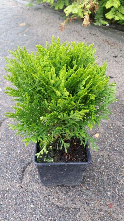 Camelia sinensis echte Tee Pflanze echter Tee 2stk.