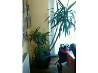 6 Ft Yucca Plant