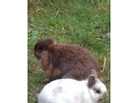Free mini lop ear female rabbit brown