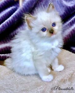 Gorgeous Female TICA Registered Ragdoll Kitten!!
