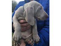 Last Weimaraner Pup hurry hurry!