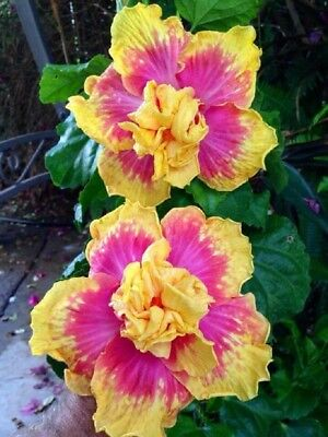 10 Double Pink Yellow Hibiscus Seeds Hardy Flower Garden Exotic Perennial Seed (Pink Hibiscus)