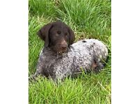 Wired haired German pointer pups